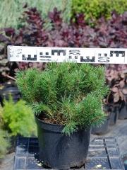 Pinus mugo 'Pumilio' посадка