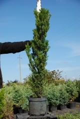 Тис ягодный Fastigiata Robusta 90-100 см