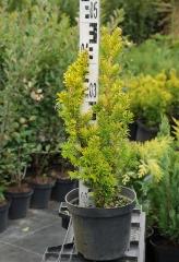 Тис ягодный 'Семперауреа' / Taxus baccata 'Semperaurea'