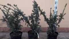 Тис остроконечный Нана высота растения 60см