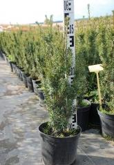 Тис средний Хиксии высота растения 60 см