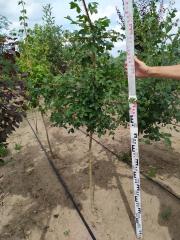 Acer campestre посадка в поле