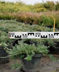 Можжевельник горизонтальный Вилтони - диаметр растения 35 см