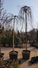 Morus alba купить саженцы привитых растений