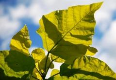Катальпа Ауреа окрас листьев