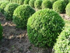 Buxus sempervirens купить Киев
