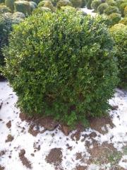 Шары самшита вечнозелёного зимой