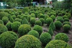 Самшит вічнозелений шар