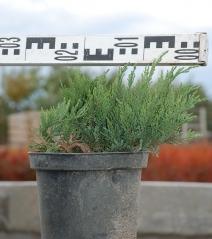 Можжевельник казацкий Тамарисцифолия диаметр растения 25см