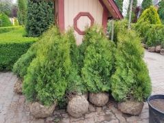 Thuja 'Holmstrup' фото