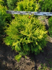Thuja occidentalis Golden Globe летом