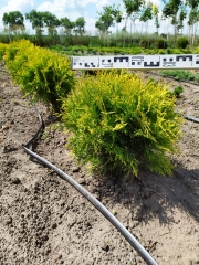 Thuja occidentalis Golden Globe в питомнике
