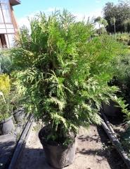 Туя западная Глобоза высота растения 60см