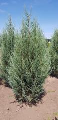 Juniperus scopolorum Блю Арроу