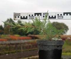 Можжевельник средний Минт Джулеп диаметр растения 35см