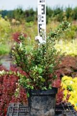 Berberis Buxifolia Nana саженцы
