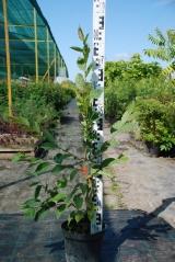 Carpinus betulus контейнерная площадка