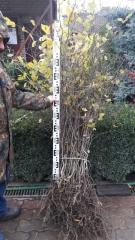 Граб голый корень (высота 100 - 120см)