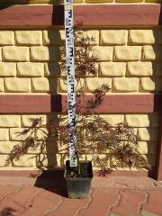 Клён веерный / пальмолистный Гарнет 70-80см
