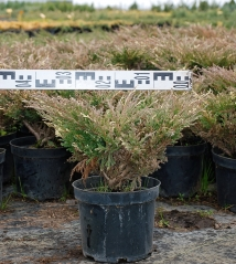 Можжевельник Aндорра Вариегата (диаметр растения 45см)