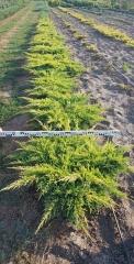Можжевельник средний Голд Стар / Juniperus pfitzeriana Gold Star