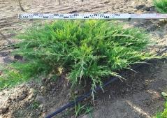 Можжевельник виргинский  Хетц / Juniperus virginiana Hetz
