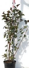 Physocarpus opulifolius Diabolo уход