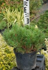 Pinus mugo Mughus в горшке 3л