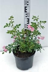 Роза полиантовая Фейри высота растения 30см