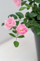 Роза полиантовая Фейри (цветки)