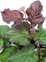 Лещина большая Пурпуреа (окраска листьев)