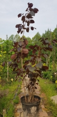 Corylus Purpurea уход