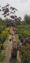 Лещина Пурпуреа посадка