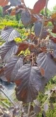 Лещина Пурпуреа описание