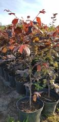 Бук лесной Атропуницеа Пурпуреа контейнерная площадка