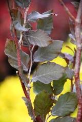 Бук Атропуницеа Пурпуреа для живой изгороди