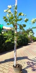Тюльпановое дерево / Лириодендрон 150см