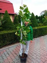 Тюльпановое дерево 1,7м