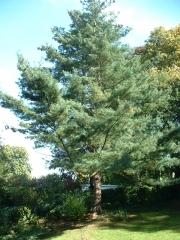 Сосна Веймутова<br>Pinus strobus<br>Сосна Веймутова