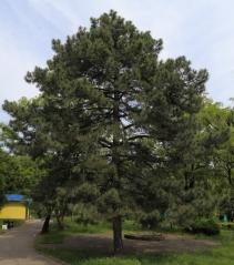 Сосна крымская взрослое дерево