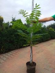 Уксусное дерево в садовом центре