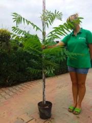 Сумах пушистый Уксусное дерево 120-130см