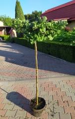 Гинкго двулопастное Марикен штамб 1,2м