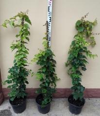 Девичий виноград триостренный Вича высота 90см