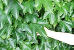 Виноград девичий триостренный Вича листья