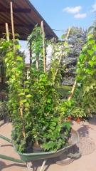 Девичий виноград tricuspidata Veitchii купить