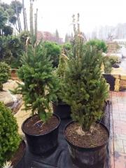 Picea abies Cupressina посажена в контейнер