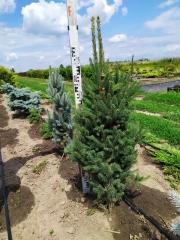 Picea Cupressina летом