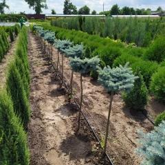 Picea pungens Glauca Globosa посадка в питомнике