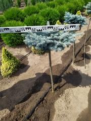 Ель Глаука Глобоза в грунте (высота штамба 60см)